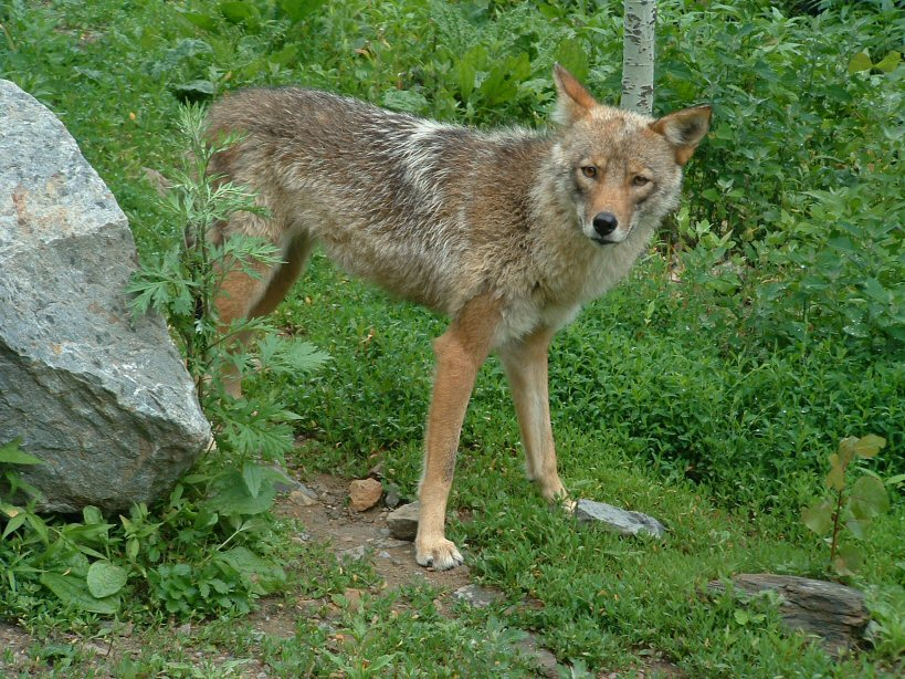 Coywolf Gallery | East...