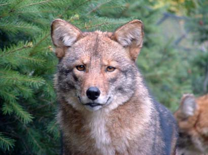 Ecr Store Eastern Coyote Coywolf Research