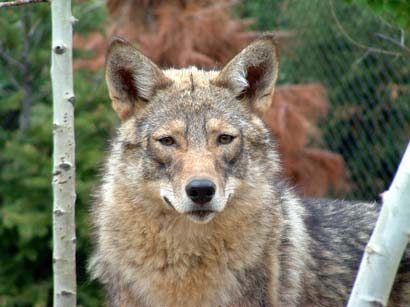 to Eastern CoyoteCoywo...